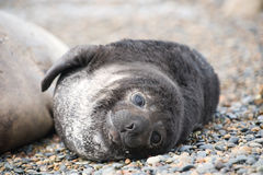Cute baby elephant seal, Valdes Peninsula Stock Photo