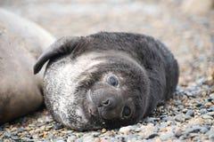 Cute baby elephant seal, Valdes Peninsula. Patagonia Argentina stock photo