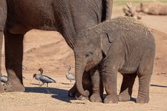 A Cute Baby Elephant. With slightly curled trunk, clinging to its mother`s side royalty free stock images