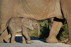 Cute Baby Elephant Walking. Cute elephant baby walking with its mother Royalty Free Stock Images