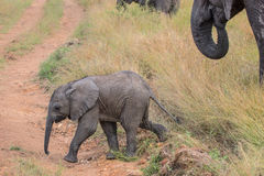 Cute Baby Elephant walking through a field in Kruger National Park stock images