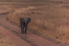 The Cute Baby Elephants of Africa royalty free stock photography