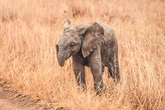 The Cute Baby Elephants of Africa royalty free stock images