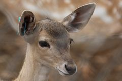 Baby Fallow Deer. A cute baby fallow deer. Portrait stock photography