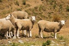 Cute baby farm sheep looking. New Zealand farm animal stock images