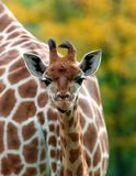 Cute baby Giraffe. Portrait of a cute baby Giraffe in the wild stock image