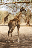 Cute baby giraffe. In Senegal with the mother standing in the background royalty free stock photo