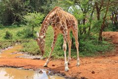 Cute baby giraffe. Want to drink water in David Sheldrick Wildlife Trust in Nairobi Kenya East Africa Royalty Free Stock Photography