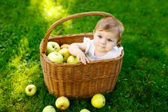 Cute baby girl sitting in basket full with ripe apples on a farm in early autumn. Little baby girl playing in apple tree. Orchard. Kids pick fruit in a basket royalty free stock photo