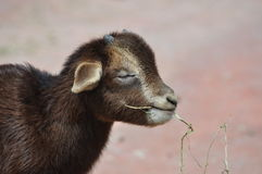 A cute baby goat Stock Images