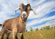 Cute Baby Goat. Very cute young kinder goat in pasture on farm Royalty Free Stock Images
