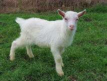 Cute baby goat. Standing in the grass Stock Image