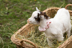 Cute baby goat in a bag Royalty Free Stock Images