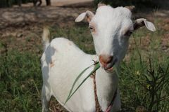 Cute Baby Goat Stock Photo