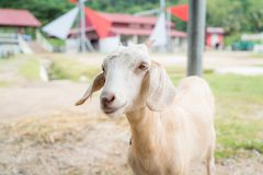 Baby goat in a farm. Cute baby goat in a farm royalty free stock photo