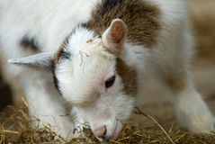 Free Cute Baby Goat In Spring Royalty Free Stock Photo - 4742645