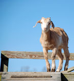 Cute Baby Goat Kid. A feisty young goat that has been running around in the mud Stock Images