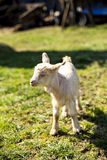Cute baby goat Stock Photography