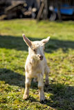 Cute baby goat. On lawn Stock Photos