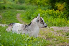 Cute baby goat is sitting among the green grass.  royalty free stock photography