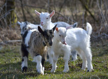 Cute baby goats. Playing on a pasture stock images