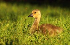 Cute baby goose Royalty Free Stock Photo