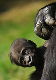 Cute baby gorilla Royalty Free Stock Image
