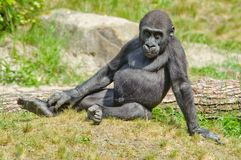 Cute baby gorilla Stock Photo