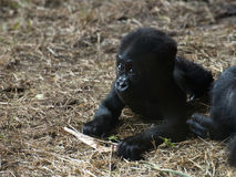 Cute Baby Gorilla Ape Stock Photography