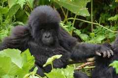 Cute baby gorilla in the jungle of Rwanda. Looking at the camera with hand on mother Royalty Free Stock Photo