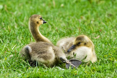 Cute Baby Gosling Royalty Free Stock Photos