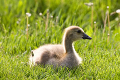 Cute Baby Gosling Royalty Free Stock Images