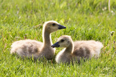 Cute Baby Goslings Stock Photos
