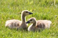 Cute Baby Goslings Stock Photos