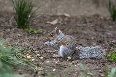 Cute baby gray squirrel eating. On the ground in spring royalty free stock photography