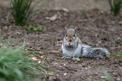 Cute baby gray squirrel eating. On the ground in spring royalty free stock image