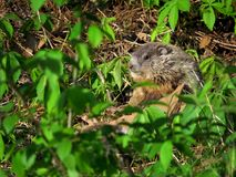 Cute Baby Groundhog. A cute and fluffy baby groundhog or woodchuck kit, pup, or cub stock image