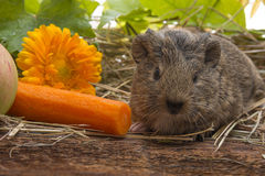 Baby of guinea pig. A cute baby of guinea pig close up royalty free stock image