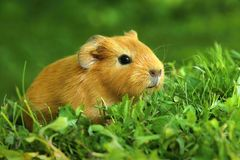 Cute baby guinea pig. In grass royalty free stock photography