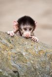 Cute Baby Hamadryas Baboon Stock Image