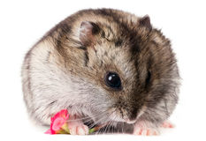 Cute baby hamster holding a red flower Royalty Free Stock Photo