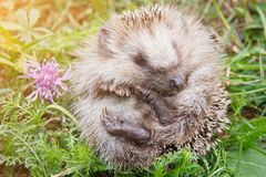 Cute baby hedgehog. Cute small baby hedgehog on nature closeup in sunlight royalty free stock photos