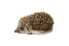 Cute baby hedgehog isolated in front of white background. Royalty Free Stock Image
