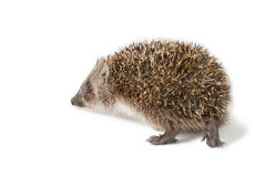 Cute baby hedgehog isolated in front of white background. Royalty Free Stock Photography