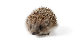 Cute baby hedgehog isolated in front of white background. Royalty Free Stock Images