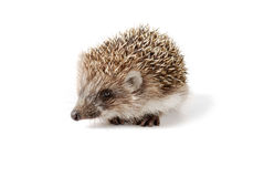 Cute baby hedgehog isolated in front of white background. Stock Images