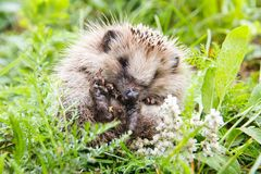 Baby hedgehog in green grass. Cute baby hedgehog on nature in green grass closeup in spring, summer stock photography