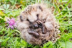 Baby hedgehog in green grass. Cute baby hedgehog on nature in green grass closeup in spring, summer stock image