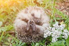 Cute baby hedgehog on nature. Cute little baby hedgehog on nature closeup in sunlight stock images