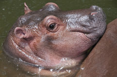 A cute baby hippo. Stock Photos